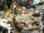 Gefleckter Skorpionsfisch (Scorpaena plumieri)