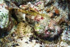 Gefleckter Skorpionsfisch_adult-Karibik-2014-03