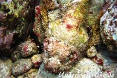 Gefleckter Skorpionsfisch_adult-Karibik-2014-10