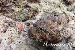 Gefleckter Skorpionsfisch_adult-Karibik-2014-14