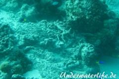 Gelbbauch-Demoiselle_adult-Malediven-2013-02