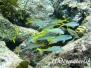 Gelbe Meerbarbe (Mulloidichthys martinicus)