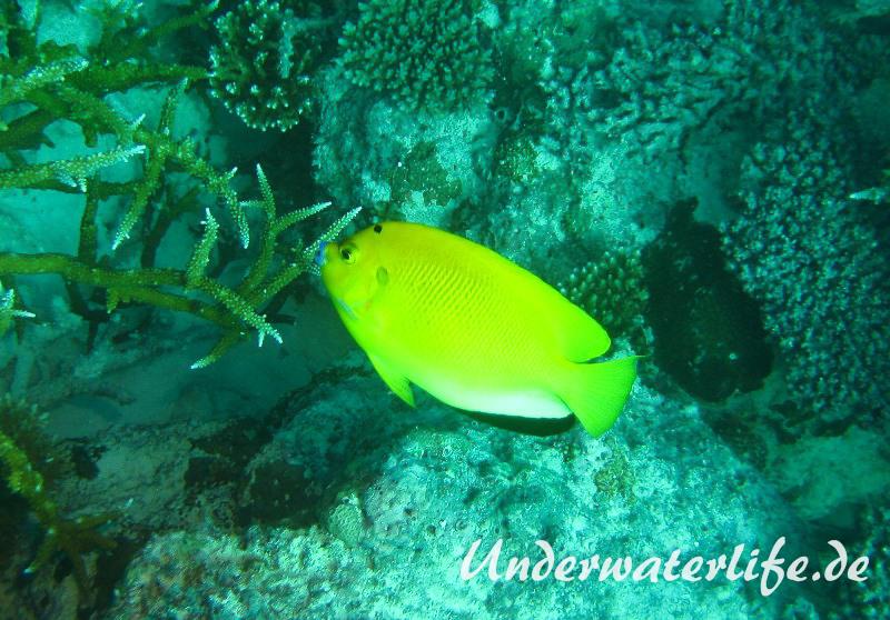Gelber-Dreipunkt- Kaiserfisch_adult-Malediven-2013-01