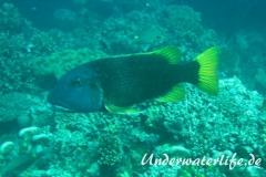 Gelbflossen-Strassenkehrer_adult-Malediven-2013-01