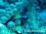 Gelbgestreifter-Husar (Neoniphon marianus)