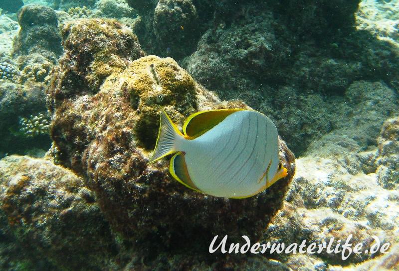 Gelbkopf-Falterfisch_adult-Malediven-2013-04