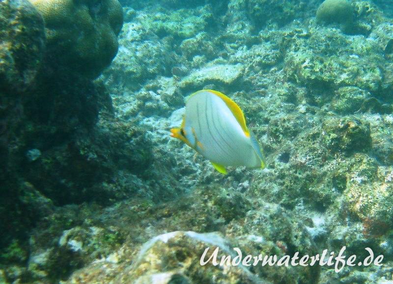 Gelbkopf-Falterfisch_adult-Malediven-2013-06