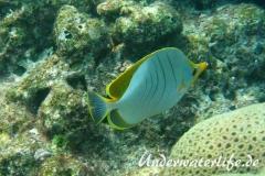 Gelbkopf-Falterfisch_adult-Malediven-2013-01