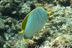 Gelbkopf-Falterfisch_adult-Malediven-2013-02