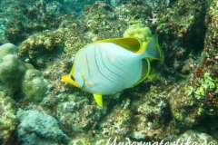 Gelbkopf-Falterfisch_adult-Malediven-2013-03