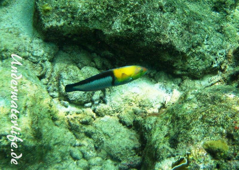 Gelbkopf-Lippfisch_adult-Karibik-2014-01