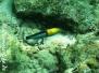 Gelbkopf-Lippfisch (Halichoeres garnoti)