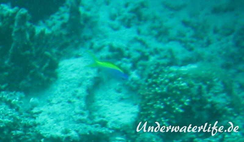 Gelbrücken-Fahnenbarsch_adult-Malediven-2013-02