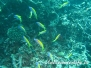 Indik Fahnenbarsche-Anthiinae-Anthias