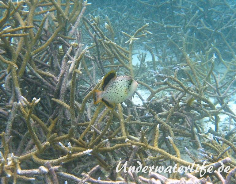 Gelbsaum-Drueckerfisch__juvenil-Malediven-2013-02