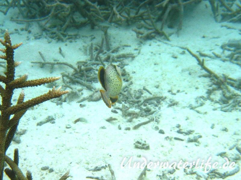 Gelbsaum-Drueckerfisch__juvenil-Malediven-2013-03