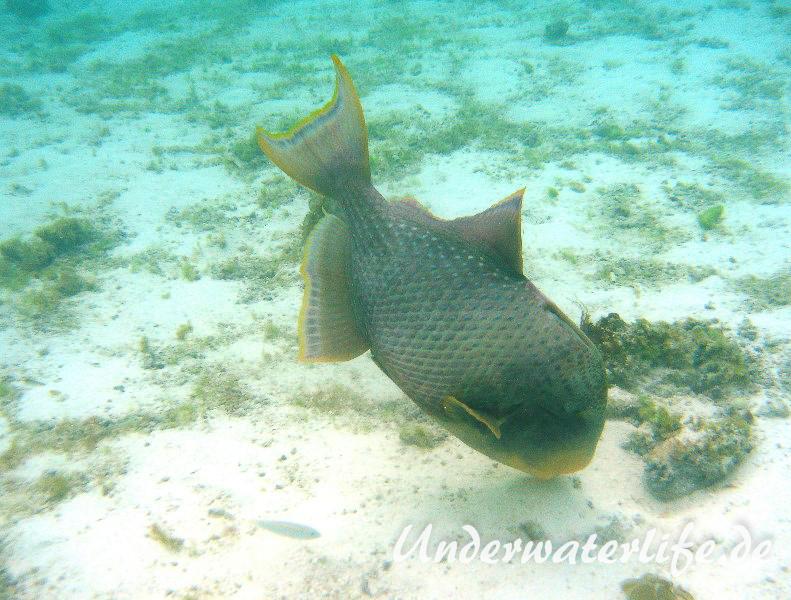 Gelbsaum-Drueckerfisch_adult-Malediven-2013-01