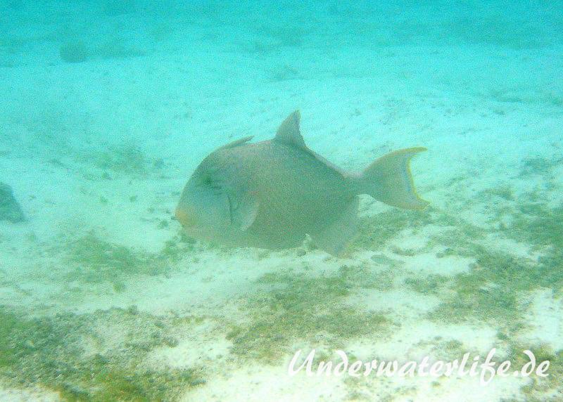 Gelbsaum-Drueckerfisch_adult-Malediven-2013-02