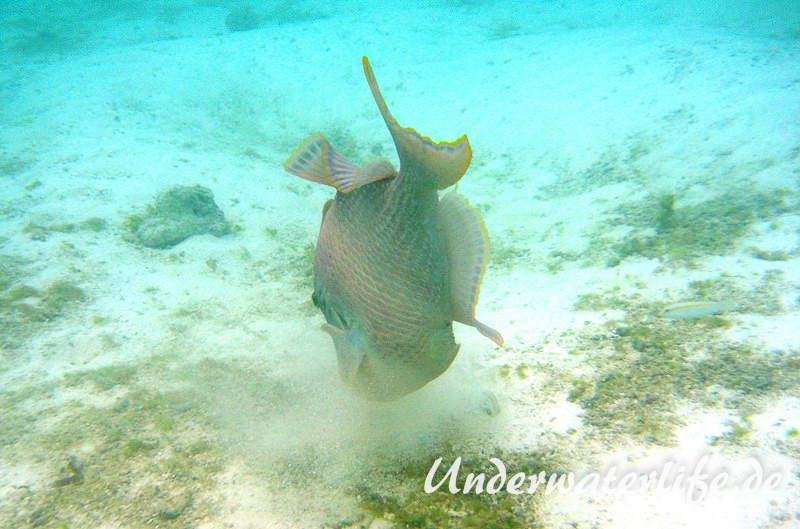 Gelbsaum-Drueckerfisch_adult-Malediven-2013-03