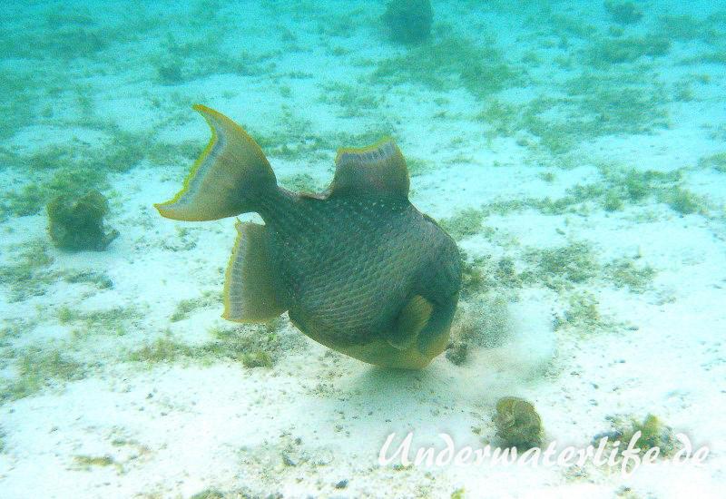 Gelbsaum-Drueckerfisch_adult-Malediven-2013-04