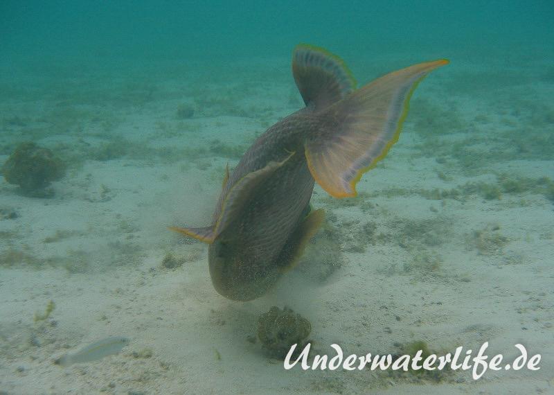 Gelbsaum-Drueckerfisch_adult-Malediven-2013-05