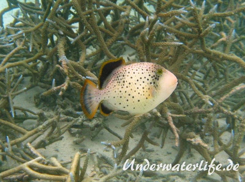 Gelbsaum-Drueckerfisch_juvenil-Malediven-2013-01
