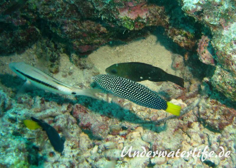 Gelbschwanz-Junker_adult-Malediven-2013-01