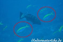 Gelbstirn-Fuesiliere_adult-Malediven-2013-01