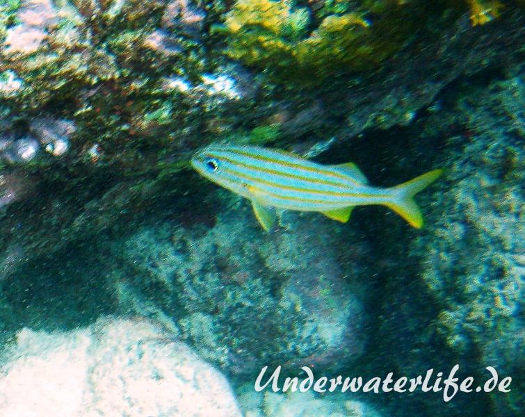 Gelbstreifen-Grunzer_adult-Karibik-2014-03