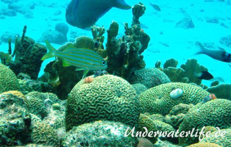 Gelbstreifen-Grunzer_adult-Karibik-2014-04