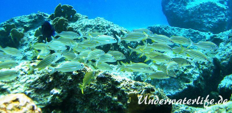 Gelbstreifen-Grunzer_adult-Karibik-2014-06