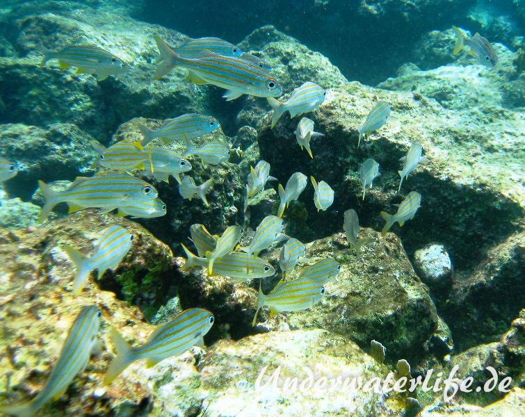 Gelbstreifen-Grunzer_adult-Karibik-2014-07