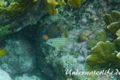 Gelbstreifen-Grunzer_adult-Karibik-2014-02