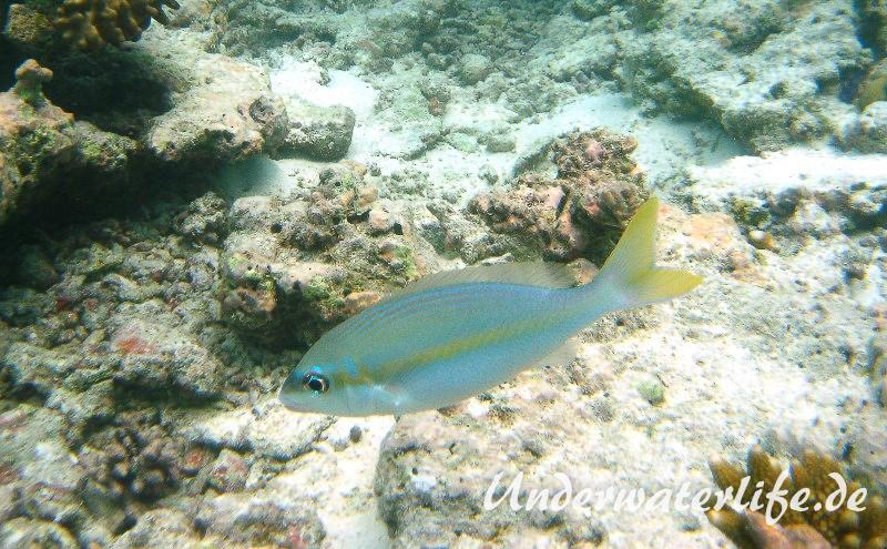 Gelbstreifen-Scheinschnapper_adult-Malediven-2013-01