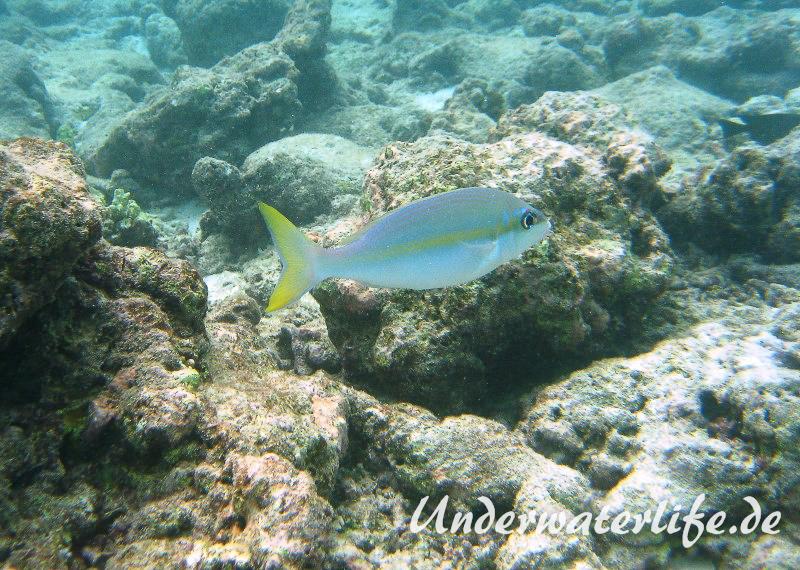 Gelbstreifen-Scheinschnapper_adult-Malediven-2013-03