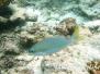 Gelbstreifen-Scheinschnapper (Scolopsis auratus)