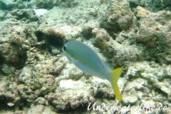 Gelbstreifen-Scheinschnapper_adult-Malediven-2013-02
