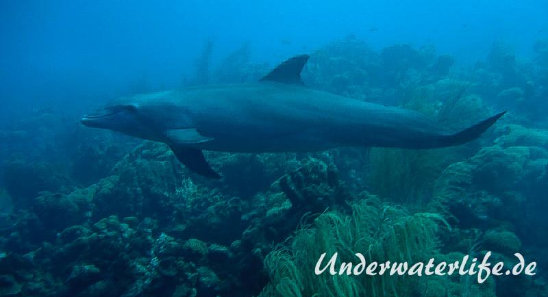 Delfin_adult-Karibik-2014-008