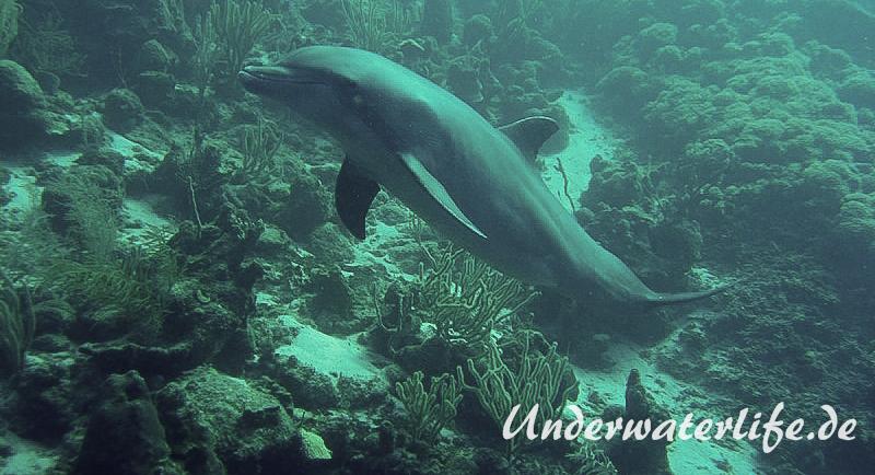 Delfin_adult-Karibik-2014-012