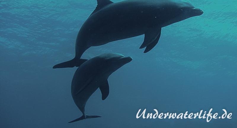 Delfin_adult-Karibik-2014-014