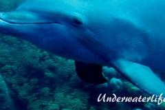 Delfin_adult-Karibik-2014-006