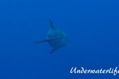 Delfin_adult-Karibik-2014-007