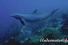 Delfin_adult-Karibik-2014-009