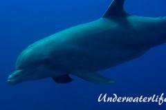 Delfin_adult-Karibik-2014-011