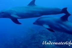 Delfin_adult-Karibik-2014-013