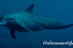 Delfin_adult-Karibik-2014-015