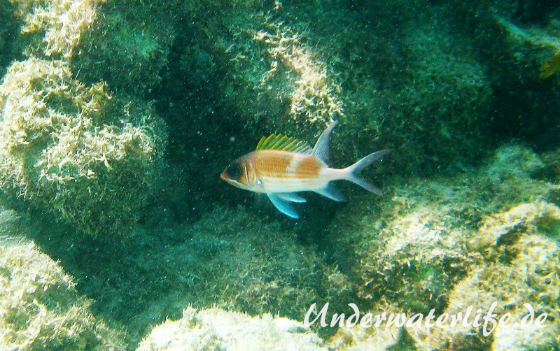 Gemeiner Husar_adult-Karibik-2014-002