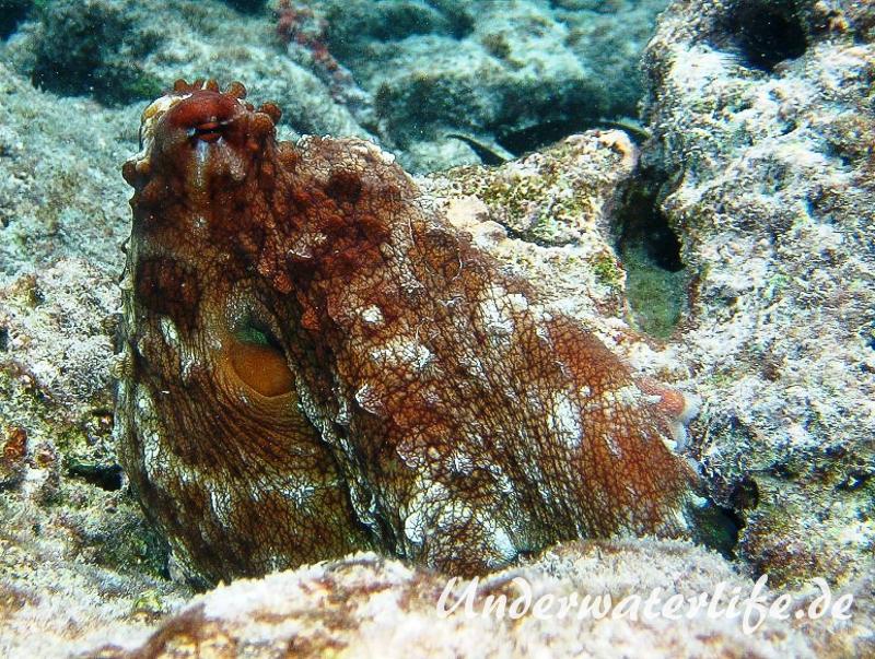 Roter Krake_adult-Malediven-2013-004