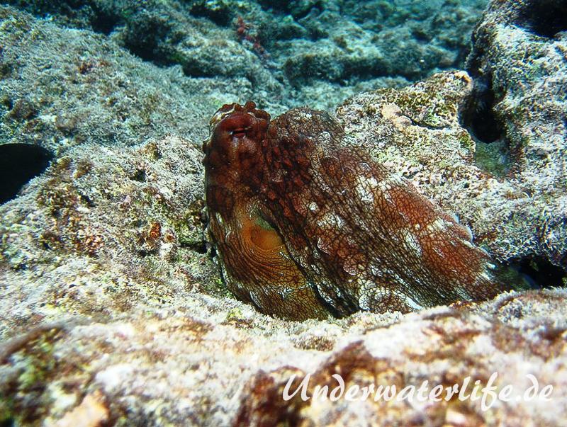 Roter Krake_adult-Malediven-2013-005