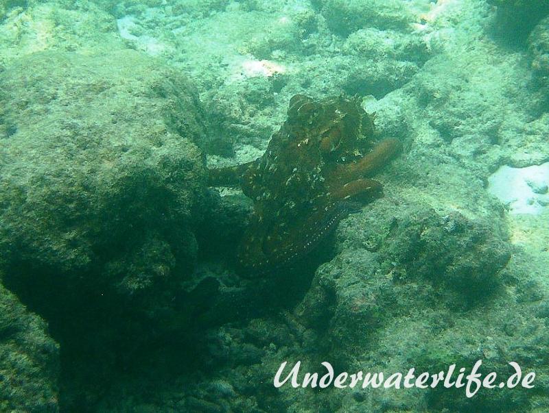 Roter Krake_adult-Malediven-2013-012